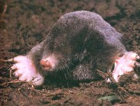 Do Moles Have Roots http://www.stclareseeds.com/gardenpests/moles-in-garden.html
