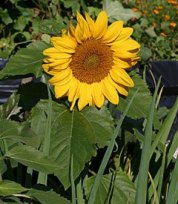 Incredible Sunflower (Dwarf)