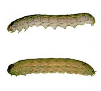 Cutworm - St. Clare Heirloom Seeds