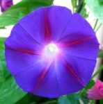Grandpa Ott Morning Glory - St. Clare Heirloom Seeds