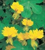 Nasturtium - Canary Bird Vine - St. Clare Heirloom Seeds