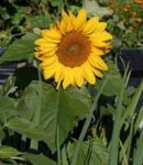 Sunflower - Incredible Dwarf - St. Clare Heirloom Seeds