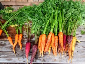 Heirloom Carrots - St. Clare Heirloom Seeds