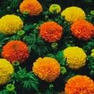 Crackerjack Mix Marigold - St. Clare Heirloom Seeds