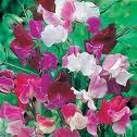 Royal Mix Sweet Pea Mix - St. Clare Heirloom Seeds