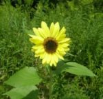 Lemon Queen Sunflower - St. Clare Heirloom Seeds
