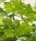 Chervil Herb - St. Clare Heirloom Seeds
