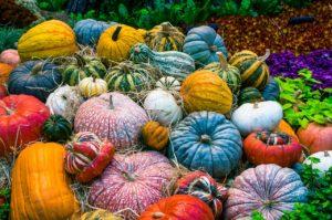 Heirloom pumpkins at harvest time. - St. Clare Heirloom Seeds