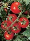 Organic Chadwick's Cherry Tomato - St. Clare Heirloom Seeds