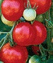 Stupice Tomato - St. Clare Heirloom Seeds