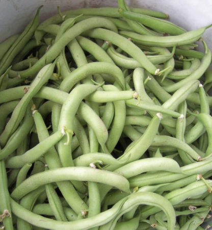 Bean, Bush Snap - Organic Contender - St. Clare Heirloom Seeds