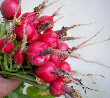 Radish - Champion - St. Clare Heirloom Seeds