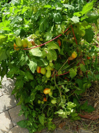 Tomato, Paste - Organic Roma - St. Clare Heirloom Seeds