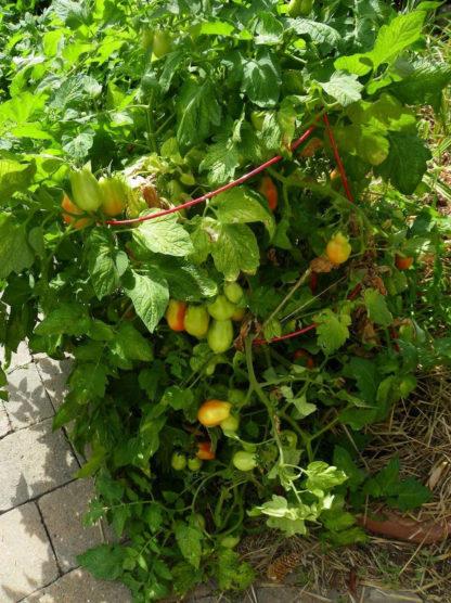 Tomato, Paste - Organic Roma - St. Clare Heirloom Seeds