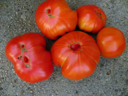 Tomato, Red - Organic Beefsteak Immature Fruit - St. Clare Heirloom Seeds