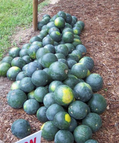 Watermelon - Organic Sugar Baby - St. Clare Heirloom Seeds