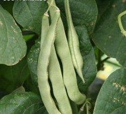 Bean, Pole - Organic Kentucky Wonder - St. Clare Heirloom Seeds