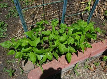 Bean, Pole - Organic Kentucky Wonder Plants - St. Clare Heirloom Seeds