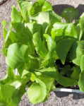 Lettuce - Organic Buttercrunch - St. Clare Heirloom Seeds