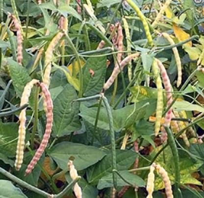 Pea, Cowpea – Mississippi Cream - St. Clare Heirloom Seeds