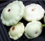 Summer Squash - White Bush Scallop - St. Clare Heirloom Seeds