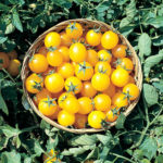 Tomato, Cherry - Golden Nugget - St. Clare Heirloom Seeds