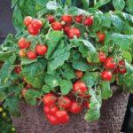 Tomato, Cherry - Tiny Tim - St. Clare Heirloom Seeds