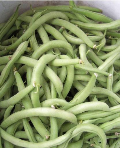 Contender Bean - St. Clare Heirloom Seeds