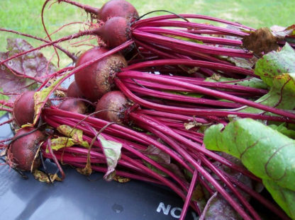Beet - Ruby Queen - St. Clare Heirloom Seeds