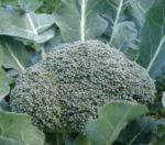 Broccoli - De Cicco - St. Clare Heirloom Seeds