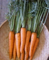 Carrot Danvers 126 - St. Clare Heirloom Seeds