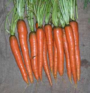 Imperator 58 Carrot - St. Clare Heirloom Seeds