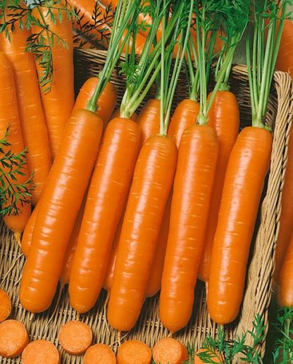 Little Fingers Carrot Seeds - St. Clare Heirloom Seeds
