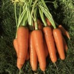 Scarlet Nantes Carrot - St. Clare Heirloom Seeds