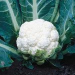 snowball self blanching cauliflower - St. Clare Heirloom Seeds