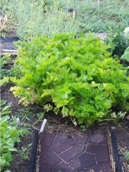 Golden Self Blanche Celery - St. Clare Heirloom Seeds - Photo Credit RobynAnne