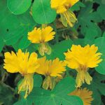 Nasturtium - Canary Bird Vine - St. Clare Heirloom Seeds