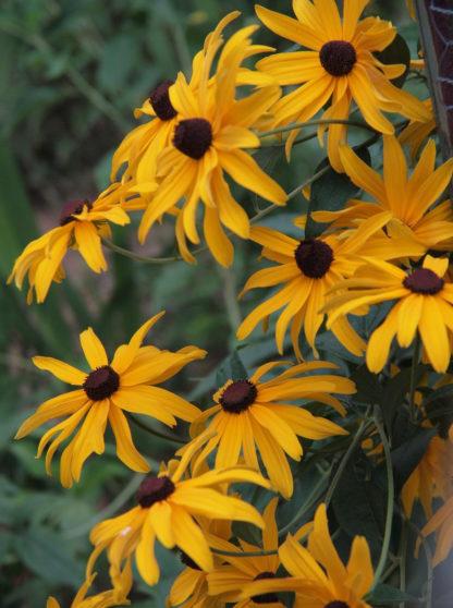 Rudbeckia - Black Eyed Susan - St. Clare Heirloom Seeds Photo Credit Elena Gaillard