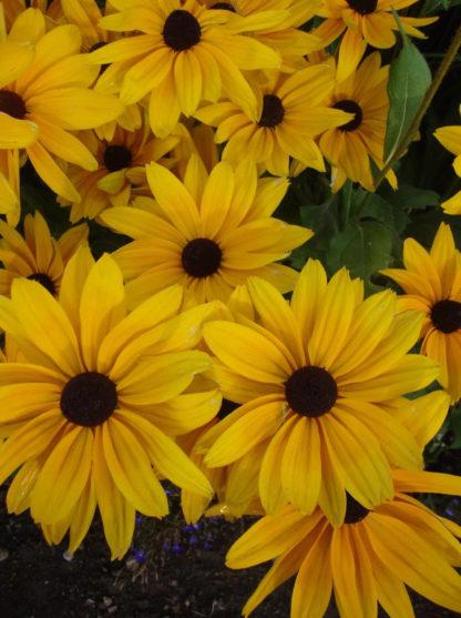 Rudbeckia - Black Eyed Susan - St. Clare Heirloom Seeds Photo Credit PJ Smith
