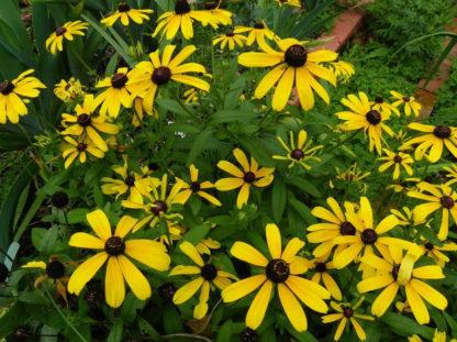 Rudbeckia - Black Eyed Susan - St. Clare Heirloom Seeds
