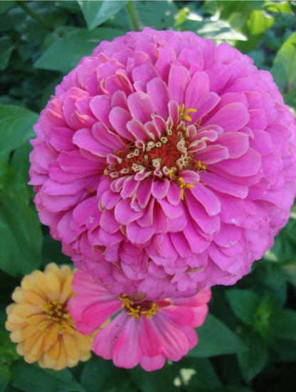 Flower - Zinnia California Giant Photo Credit P.J. Smith - St. Clare Heirloom Seeds