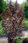 Amaranth - Red Garnet - St. Clare Heirloom Seeds