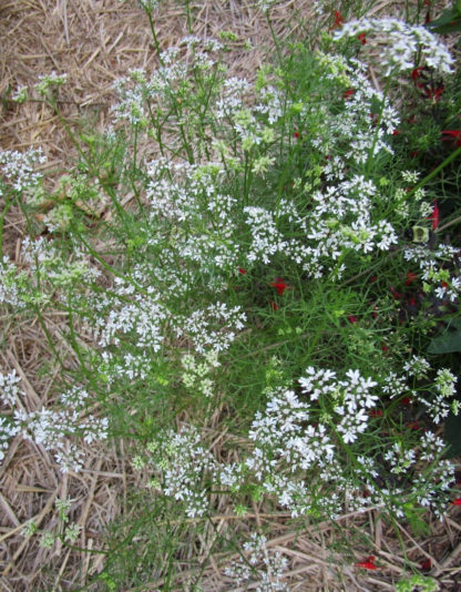 Herb, Annual - Cumin - St. Clare Heirloom Seeds