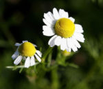 Herb, Annual - German Chamomile - St. Clare Heirloom Seeds - Photo Credit Fir0002