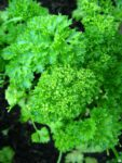 Herb, Annual - Triple Curled Parsley - St. Clare Heirloom Seeds