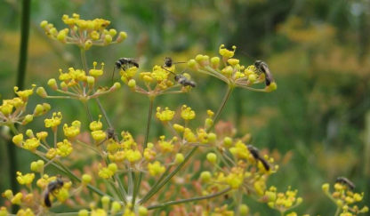 Herb, Perennial - Sweet Fennel Blossom - St. Clare Heirloom Seeds