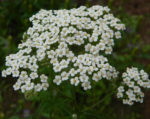 Herb, Perennial - Yarrow - St. Clare Heirloom Seeds