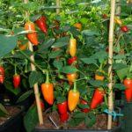 Pepper, Hot - Santa Fe Grande - St. Clare Heirloom Seeds