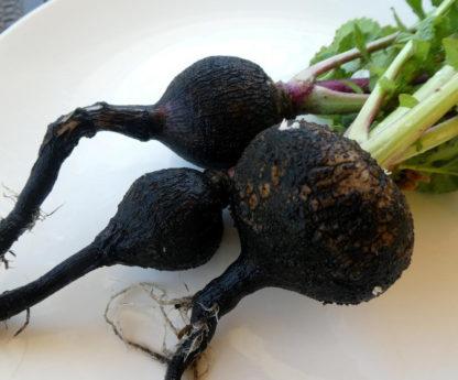 Radish - Black Spanish - St. Clare Heirloom Seeds