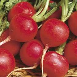 Radish - Champion Radish - St. Clare Heirloom Seeds